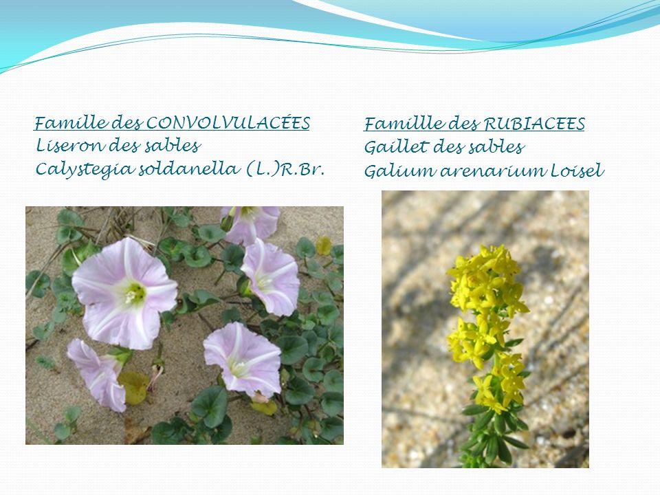 Famille des CONVOLVULACÉES Liseron des sables Calystegia soldanella (L.)R.Br. Famillle des RUBIACEES Gaillet des sables Galium arenarium Loisel