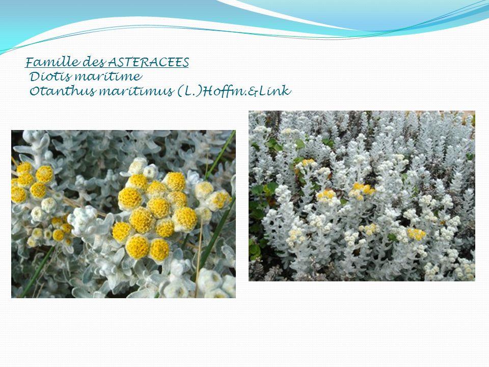 Famille des ASTERACEES Diotis maritime Otanthus maritimus (L.)Hoffm.&Link