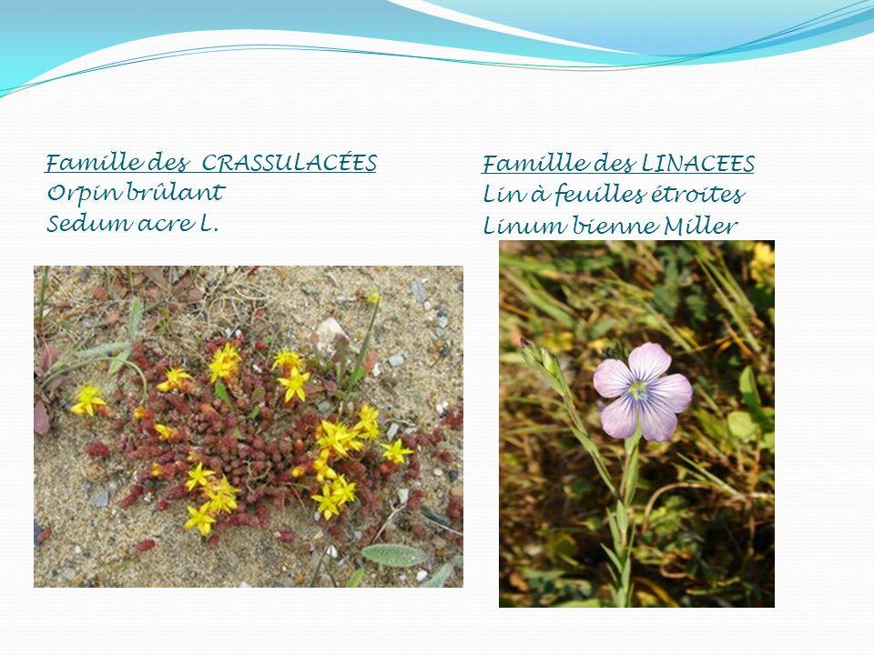 Famille des CRASSULACÉES Orpin brûlant Sedum acre L. Famillle des LINACEES Lin à feuilles étroites Linum bienne Miller