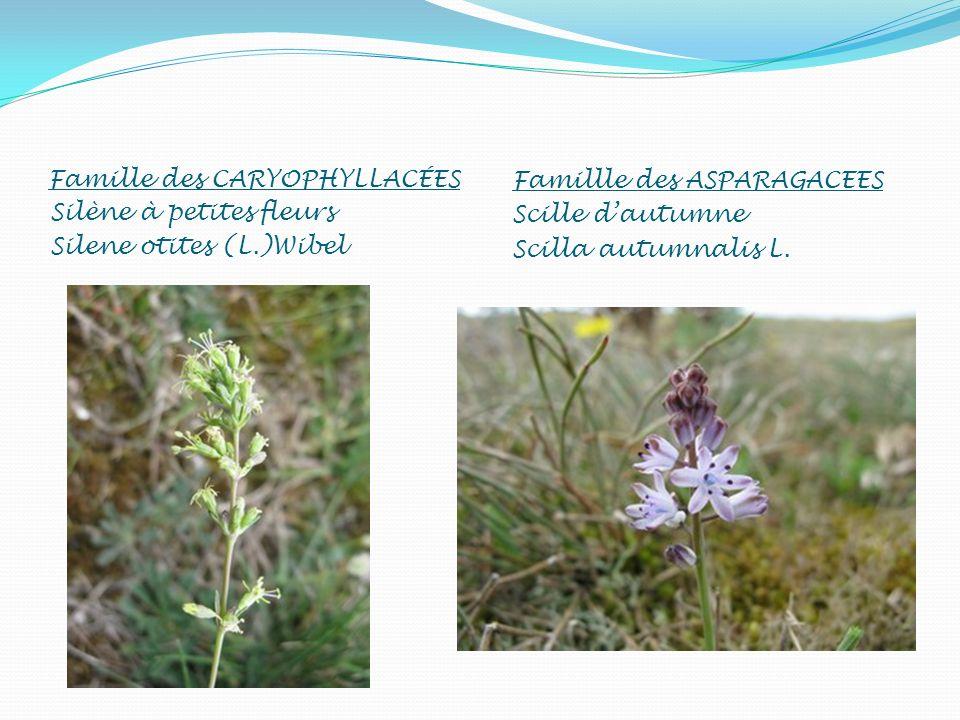 Famille des CARYOPHYLLACÉES Silène à petites fleurs Silene otites (L.)Wibel Famillle des ASPARAGACEES Scille dautumne Scilla autumnalis L.