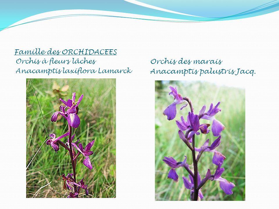 Famille des ORCHIDACEES Orchis à fleurs lâches Anacamptis laxiflora Lamarck Orchis des marais Anacamptis palustris Jacq.