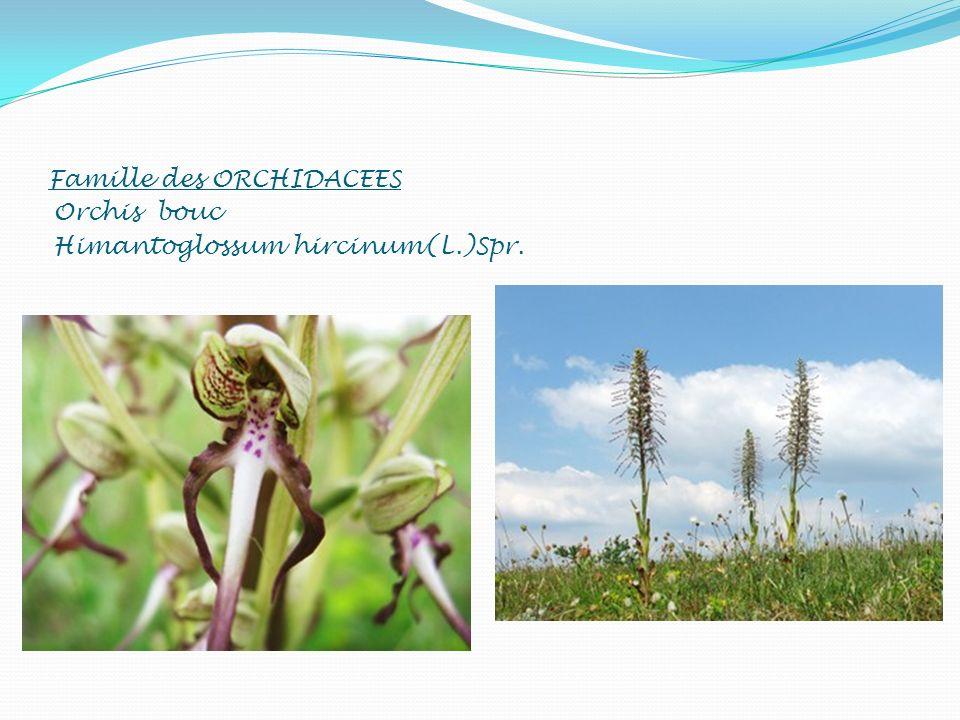 Famille des ORCHIDACEES Orchis bouc Himantoglossum hircinum(L.)Spr.