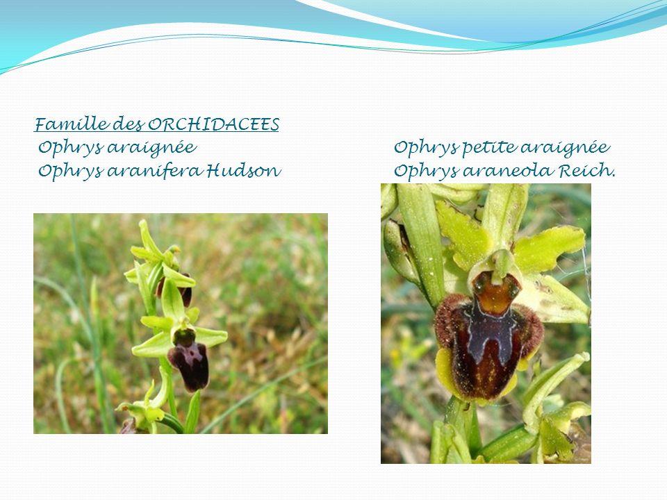 Famille des ORCHIDACEES Ophrys araignée Ophrys aranifera Hudson Ophrys petite araignée Ophrys araneola Reich.