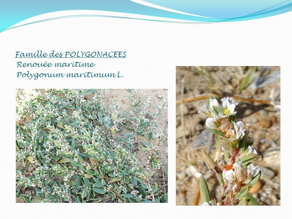 Famille des POLYGONACEES Renouée maritime Polygonum maritimum L.