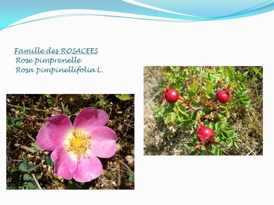 Famille des ROSACEES Rose pimprenelle Rosa pimpinellifolia L.