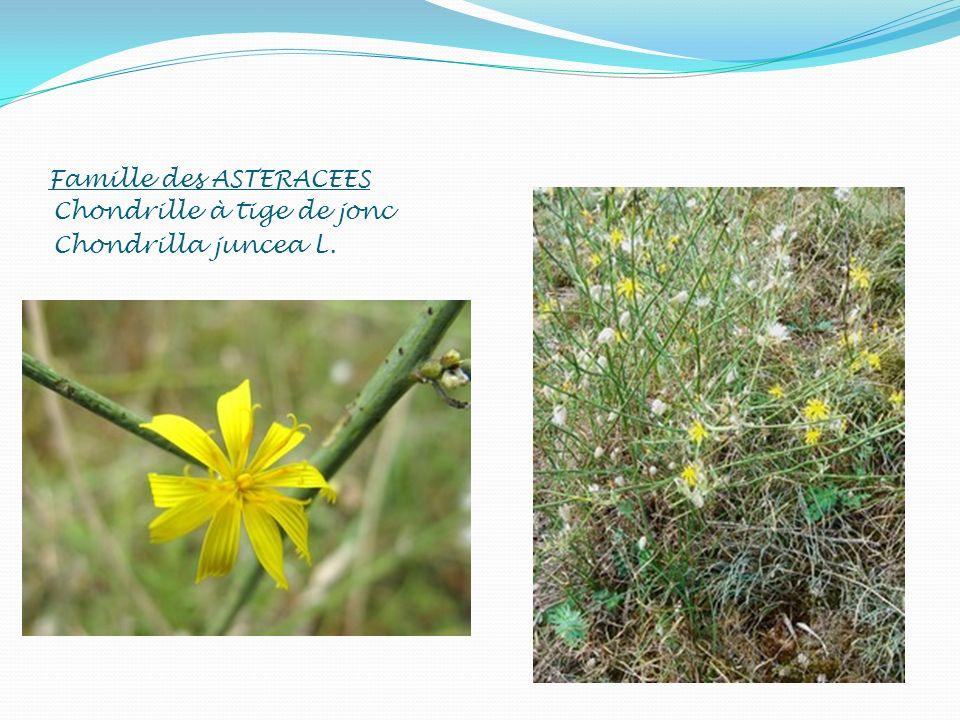 Famille des ASTERACEES Chondrille à tige de jonc Chondrilla juncea L.
