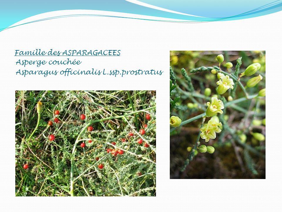 Famille des ASPARAGACEES Asperge couchée Asparagus officinalis L.ssp.prostratus