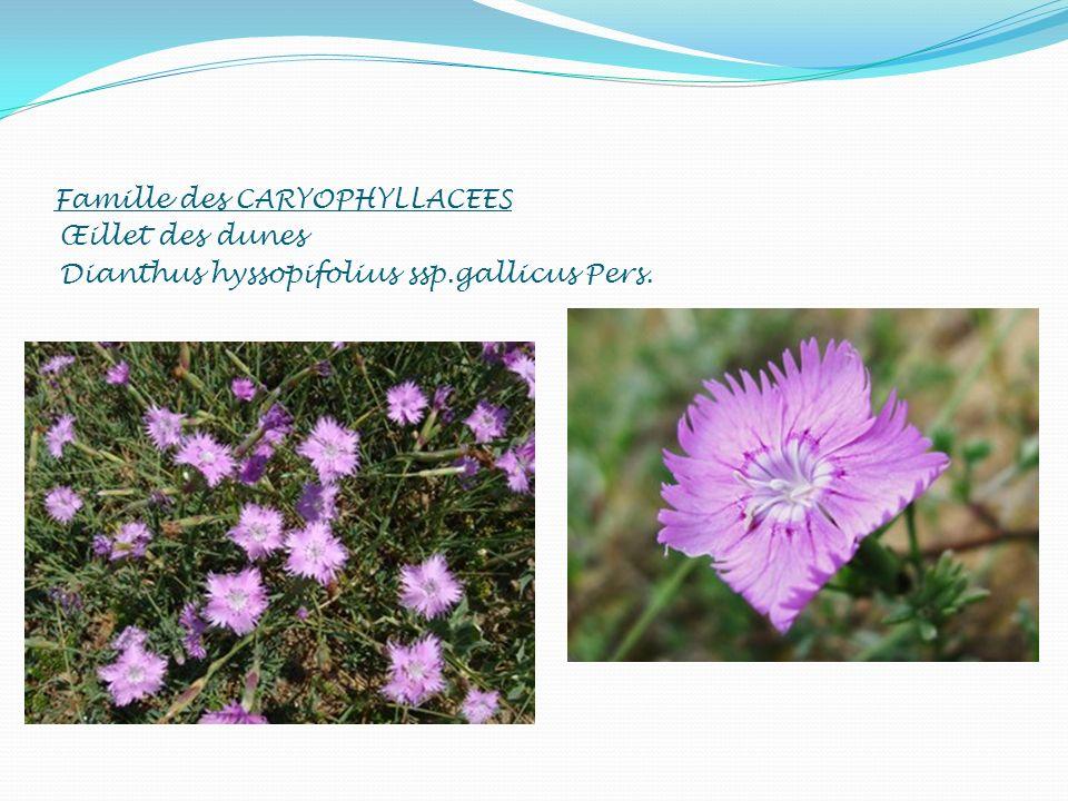 Famille des CARYOPHYLLACEES Œillet des dunes Dianthus hyssopifolius ssp.gallicus Pers.