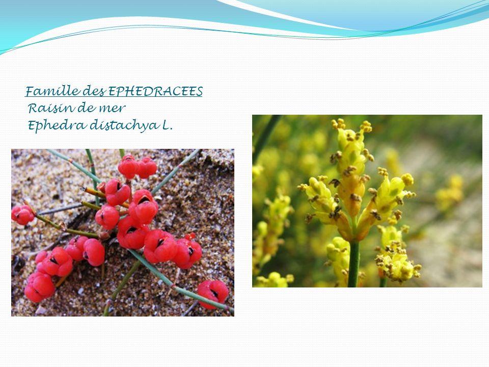 Famille des EPHEDRACEES Raisin de mer Ephedra distachya L.