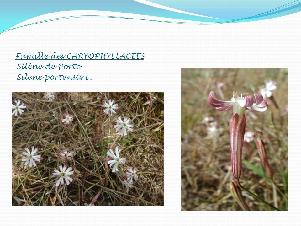 Famille des CARYOPHYLLACEES Silène de Porto Silene portensis L.