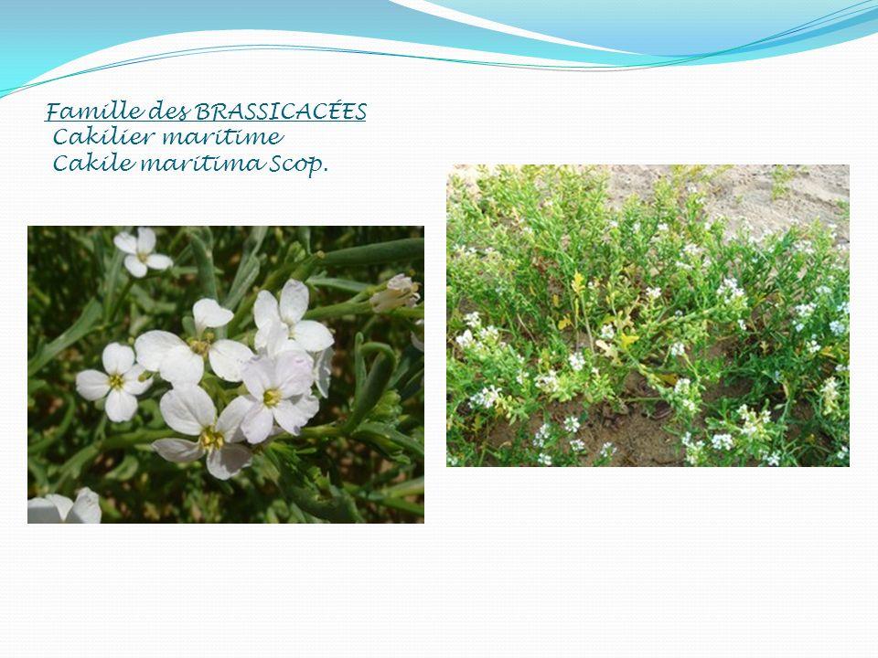 Famille des BORAGINACEES Petite bourrache du littoral Omphalodes littoralis Lehm.