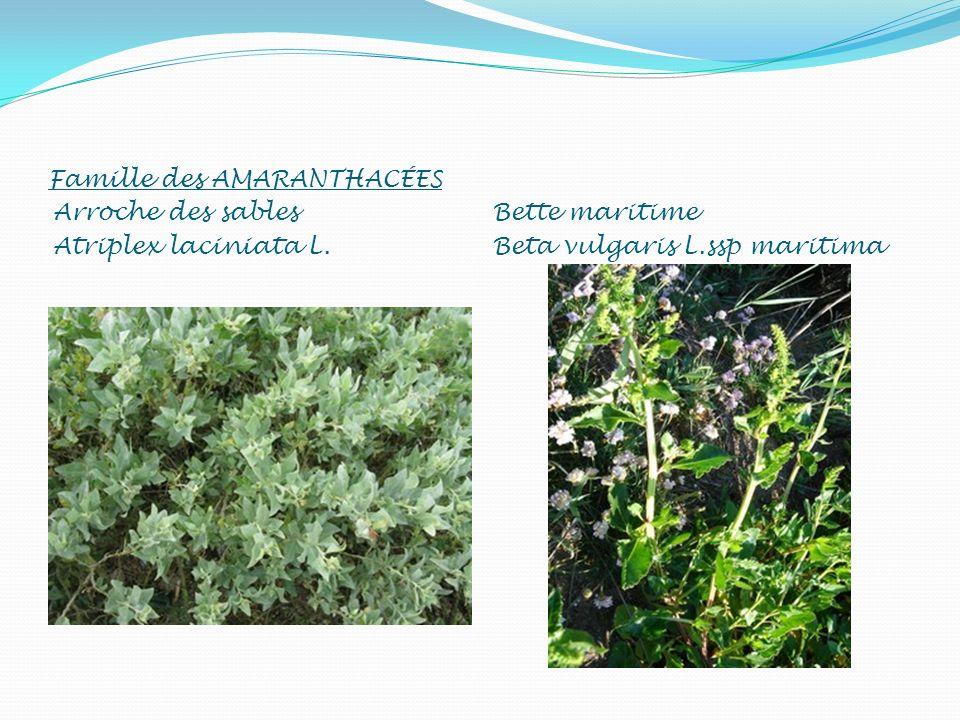 Famille des AMARANTHACÉES Arroche des sables Atriplex laciniata L. Bette maritime Beta vulgaris L.ssp maritima