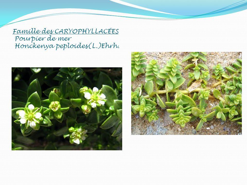 Famille des CARYOPHYLLACÉES Pourpier de mer Honckenya peploides(L.)Ehrh.