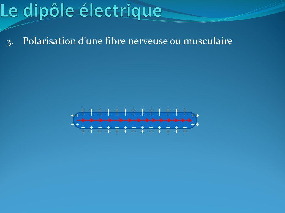 3. Polarisation dune fibre nerveuse ou musculaire + - - + + + + + + + + + + + + + + - - - - - - - - - - - - - + + + + + + + + + + + + + - + + + + + +