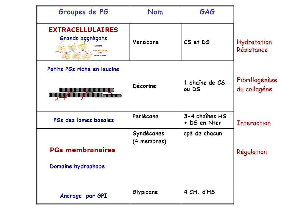 Groupes de PGNomGAG EXTRACELLULAIRES Grands aggrégats VersicaneCS et DS Petits PGs riche en leucine Décorine 1 chaîne de CS ou DS PGs des lames basale