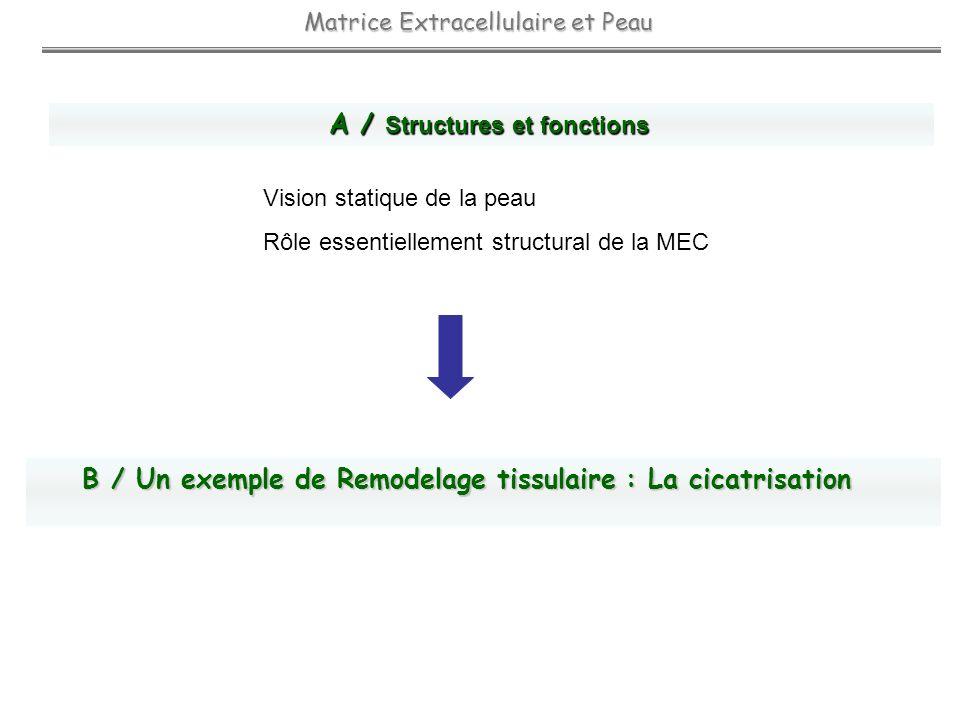 Matrice Extracellulaire et Peau A / Structures et fonctions Vision statique de la peau Rôle essentiellement structural de la MEC B / Un exemple de Rem