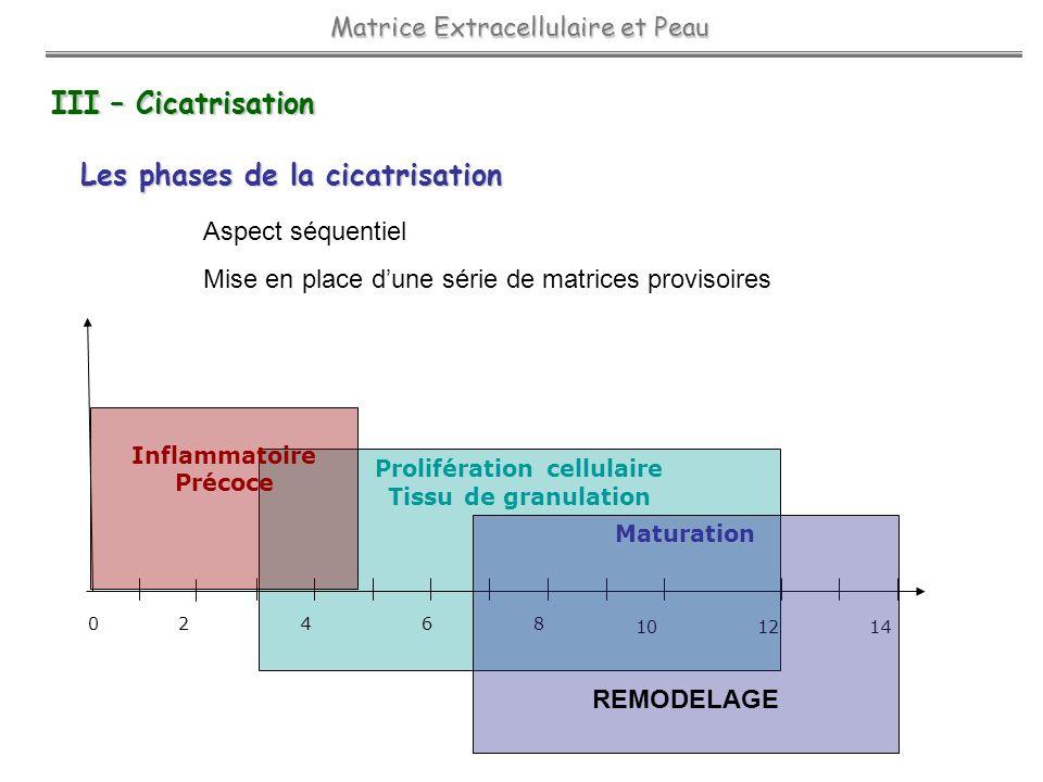Prolifération cellulaire Tissu de granulation 2468 10 12 14 0 Inflammatoire Précoce Maturation REMODELAGE III – Cicatrisation Les phases de la cicatri
