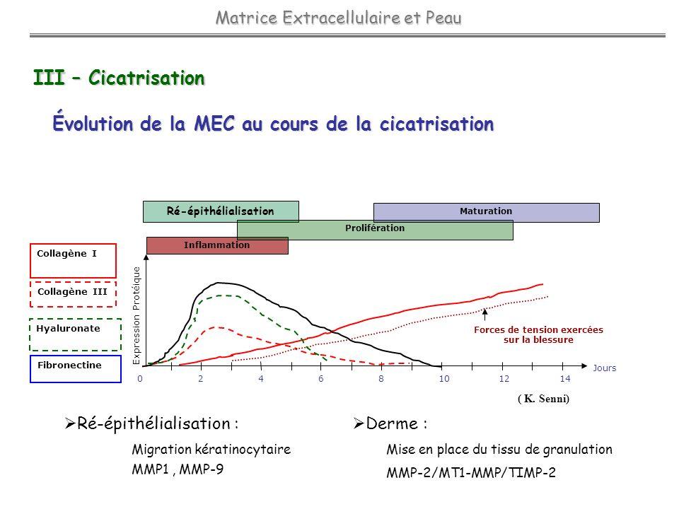III – Cicatrisation Évolution de la MEC au cours de la cicatrisation Jours Fibronectine Collagène I Collagène III Hyaluronate 24681012140 Forces de te