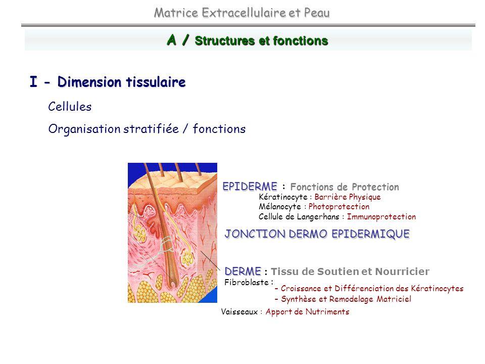 Cellules Matrice extracellulaire = Macromolécules matricielles Matrice Extracellulaire et Peau Protéines Fibreuses GAGProtéoglycannes Glycoprotéines ElastineCollagènes A / Structures et fonctions II / Dimension moléculaire : Macromolécules conjonctives a b c d e