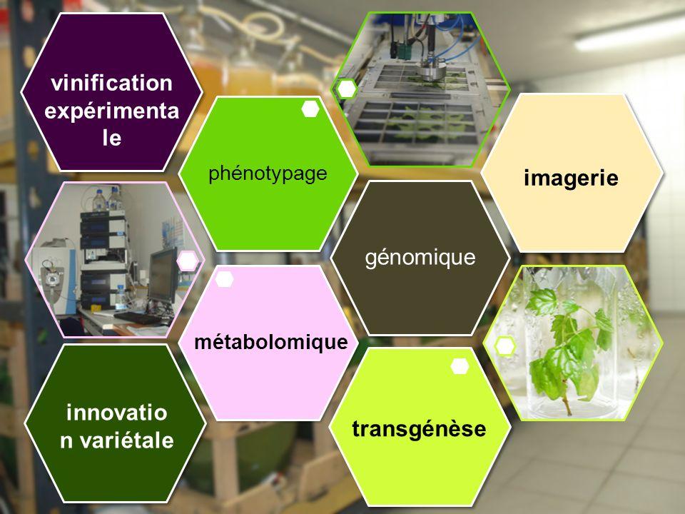 génomique phénotypage métabolomique imagerie innovatio n variétale transgénèse vinification expérimenta le