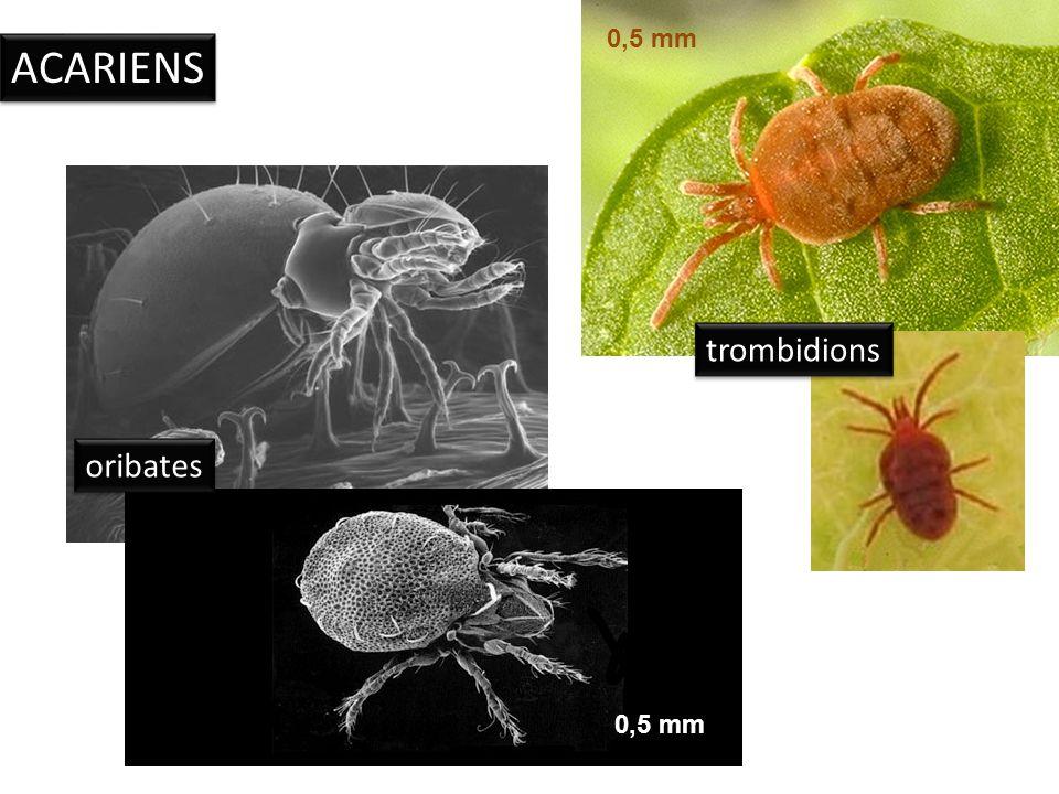 INSECTES fourmi collemboles 0,5 mm 3 mm