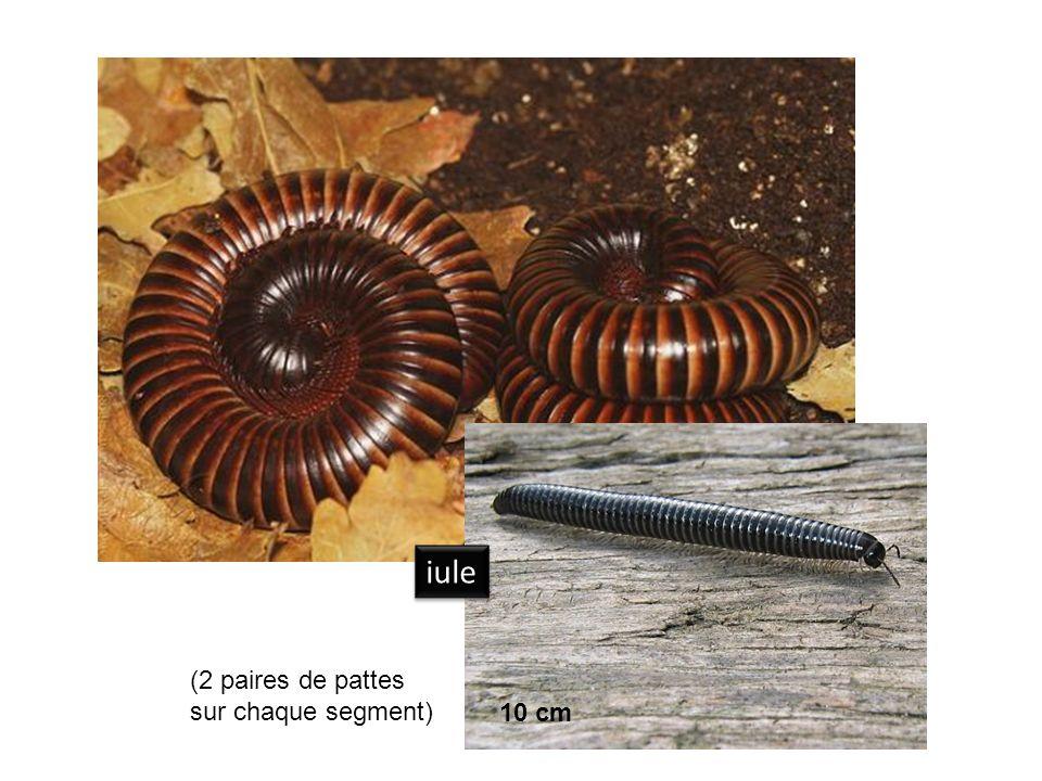 araignée pseudoscorpion opilion 1,5 cm 8 cm 7 mm