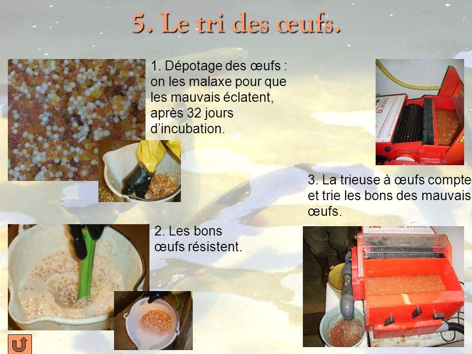 4. Lévolution des œufs. Les œufs fécondés sont placés dans des clayettes. …dans le noir, pendant 15 jours à 3 semaines. Les œufs sont placés dans des