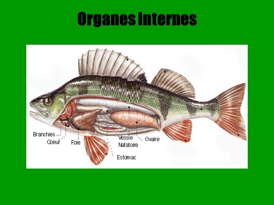 Le squelette Le squelette interne osseux de la plupart des poissons se compose d un crâne portant les mâchoires, d une colonne vertébrale, des côtes et dune série d os qui soutiennent les nageoires.