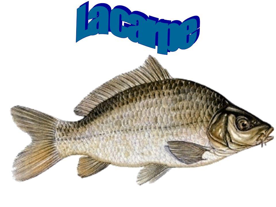 Respiration Le poisson a besoin d oxygène pour faire battre son cœur, pour faire agir son cerveau et ses muscles.