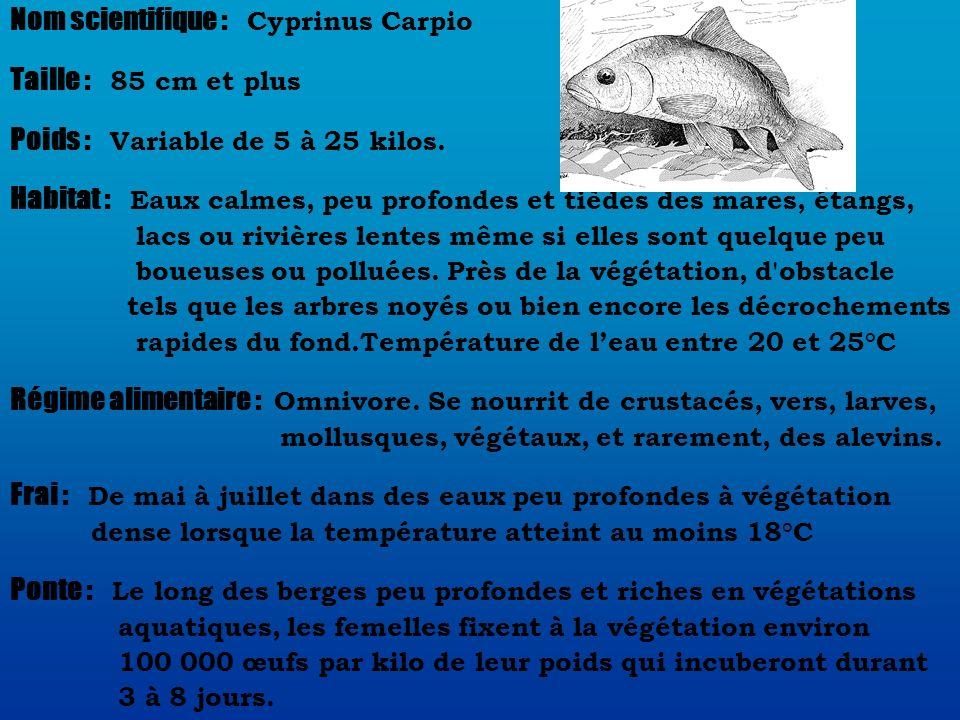 Nom scientifique : Cyprinus Carpio Taille : 85 cm et plus Poids : Variable de 5 à 25 kilos.