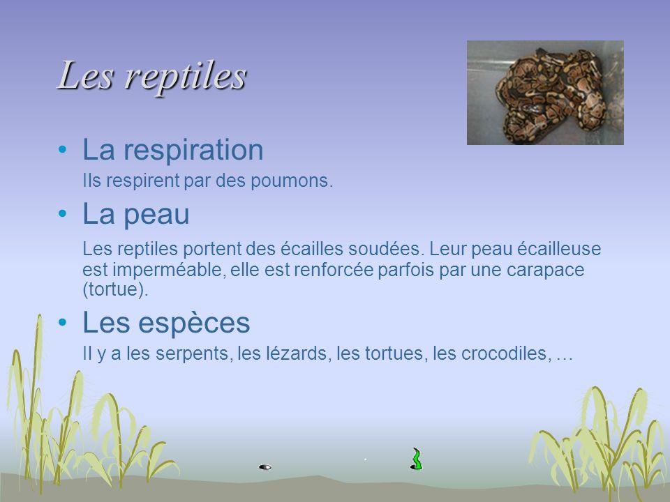 Les reptiles La respiration Ils respirent par des poumons. La peau Les reptiles portent des écailles soudées. Leur peau écailleuse est imperméable, el