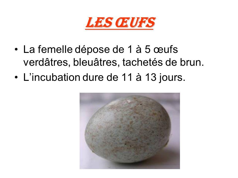 Les œufs La femelle dépose de 1 à 5 œufs verdâtres, bleuâtres, tachetés de brun.