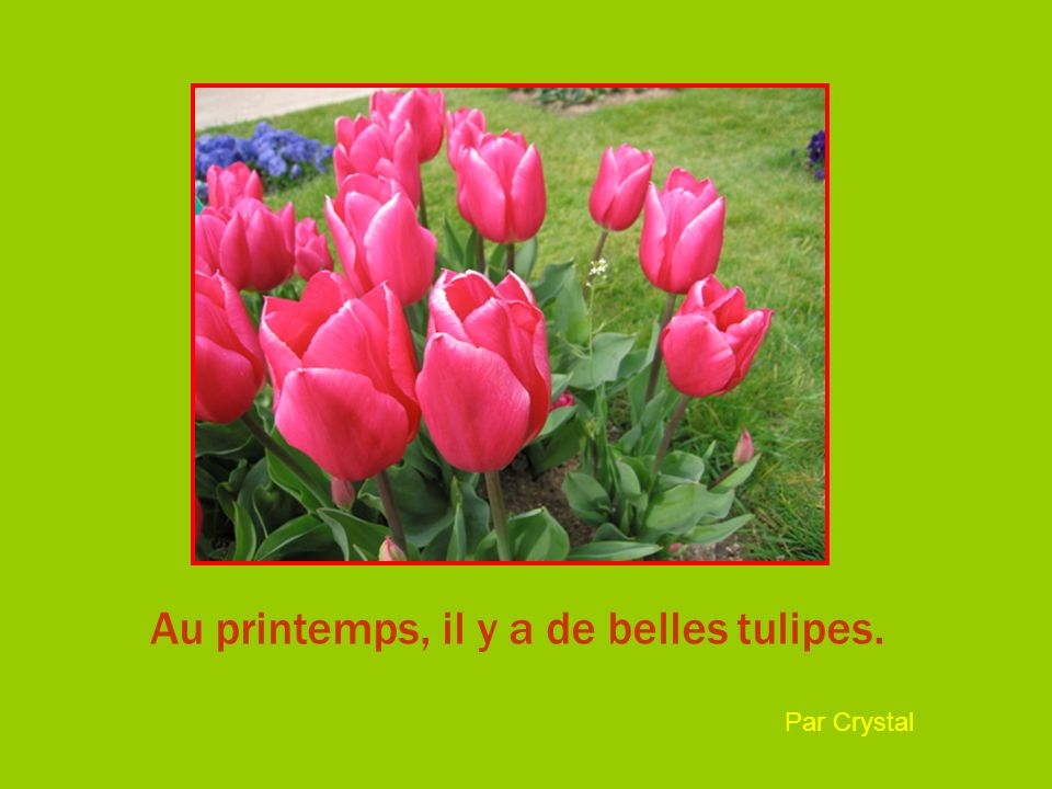 Au printemps, il y a de belles tulipes. Par Crystal