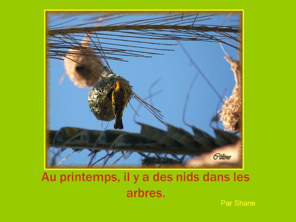 Au printemps, il y a des nids dans les arbres. Par Shane