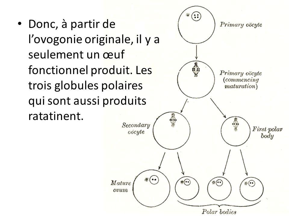 Donc, à partir de lovogonie originale, il y a seulement un œuf fonctionnel produit. Les trois globules polaires qui sont aussi produits ratatinent.