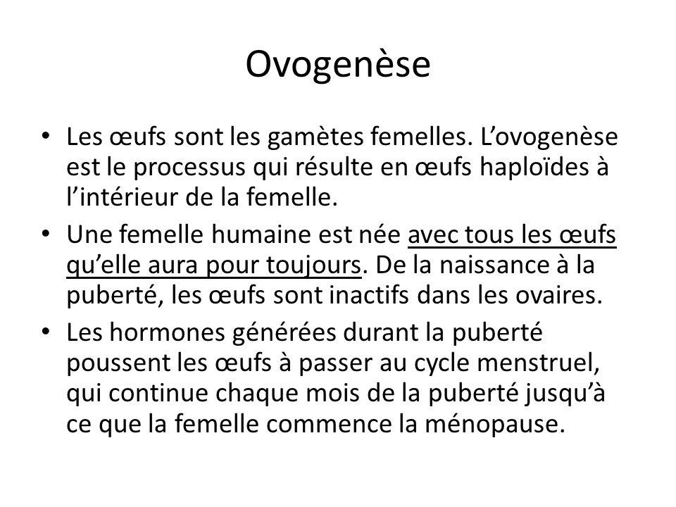 Ovogenèse Les œufs sont les gamètes femelles. Lovogenèse est le processus qui résulte en œufs haploïdes à lintérieur de la femelle. Une femelle humain