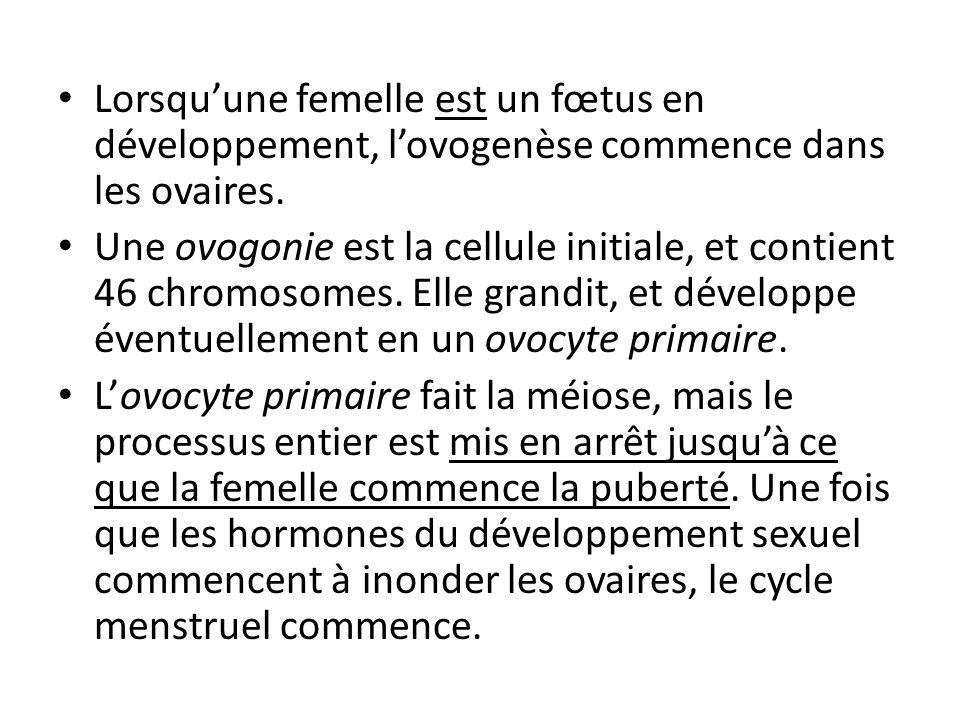 Lorsquune femelle est un fœtus en développement, lovogenèse commence dans les ovaires. Une ovogonie est la cellule initiale, et contient 46 chromosome