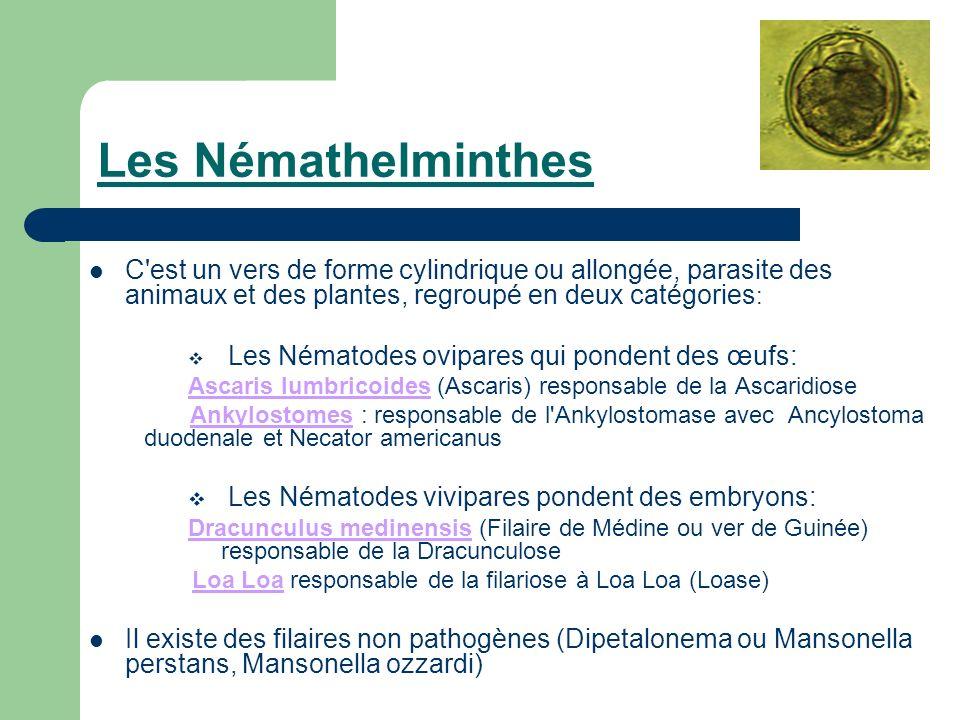 Les Némathelminthes C'est un vers de forme cylindrique ou allongée, parasite des animaux et des plantes, regroupé en deux catégories : Les Nématodes o