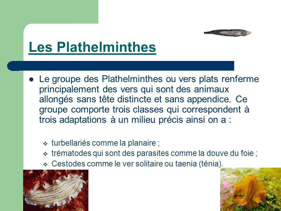 Les Plathelminthes Le groupe des Plathelminthes ou vers plats renferme principalement des vers qui sont des animaux allongés sans tête distincte et sa