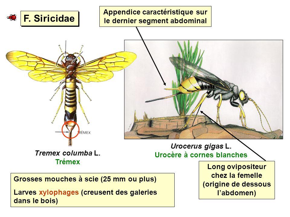 F. Siricidae Tremex columba L. Trémex Urocerus gigas L. Urocère à cornes blanches Grosses mouches à scie (25 mm ou plus) Larves xylophages (creusent d