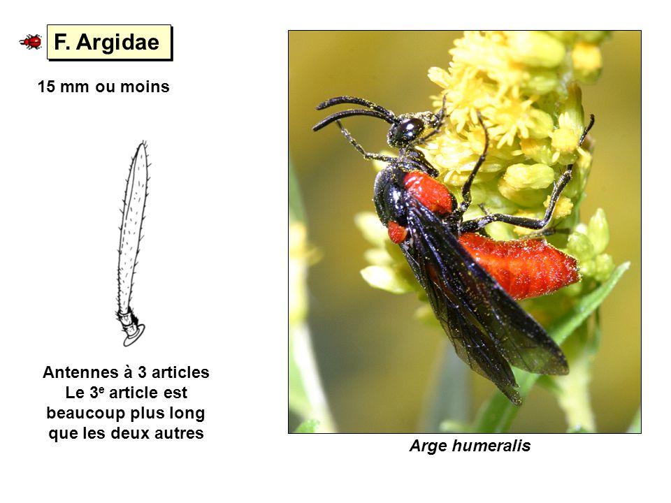 F. Argidae Antennes à 3 articles Le 3 e article est beaucoup plus long que les deux autres 15 mm ou moins Arge humeralis