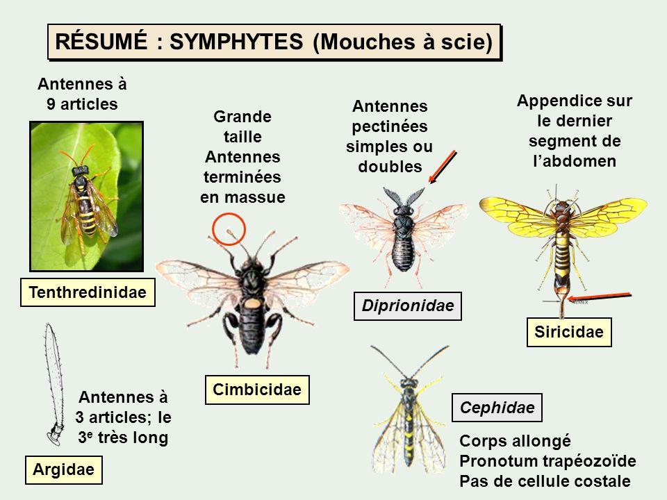 RÉSUMÉ : SYMPHYTES (Mouches à scie) Tenthredinidae Cimbicidae Diprionidae Siricidae Cephidae Antennes à 9 articles Grande taille Antennes terminées en