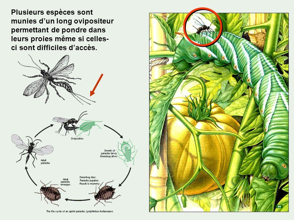 Plusieurs espèces sont munies dun long ovipositeur permettant de pondre dans leurs proies même si celles- ci sont difficiles daccès.