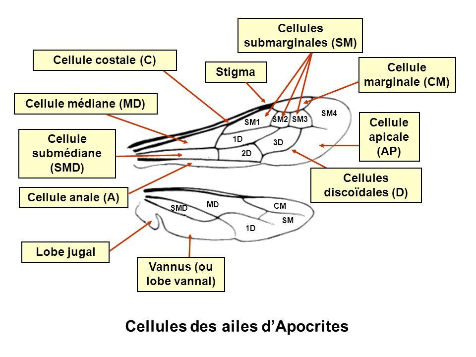 Cellule marginale (CM) MD CM SM Cellules des ailes dApocrites 1D Lobe jugal Vannus (ou lobe vannal) 1D 2D 3D Cellules discoïdales (D) Cellule apicale