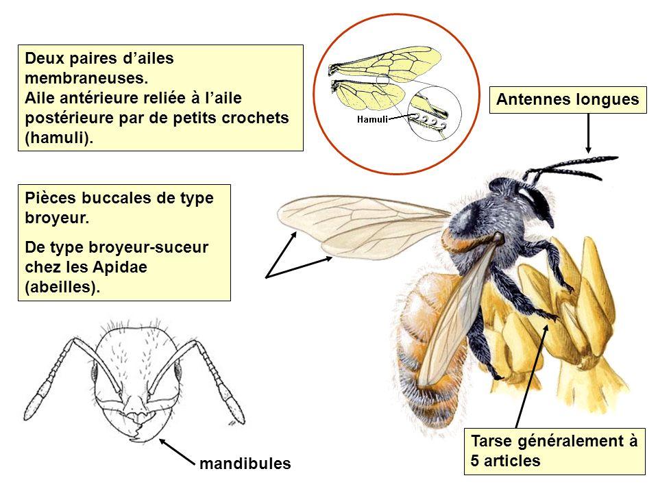 Insectes sociaux Au moins 3 castes (reine, mâle, ouvrière) Mâle et reine sont ailés (mais la reine coupe généralement ses ailes après laccouplement).