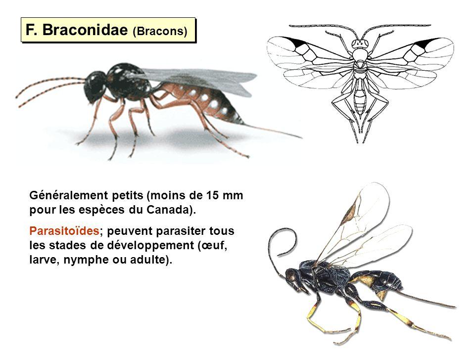 F. Braconidae (Bracons) Généralement petits (moins de 15 mm pour les espèces du Canada). Parasitoïdes; peuvent parasiter tous les stades de développem