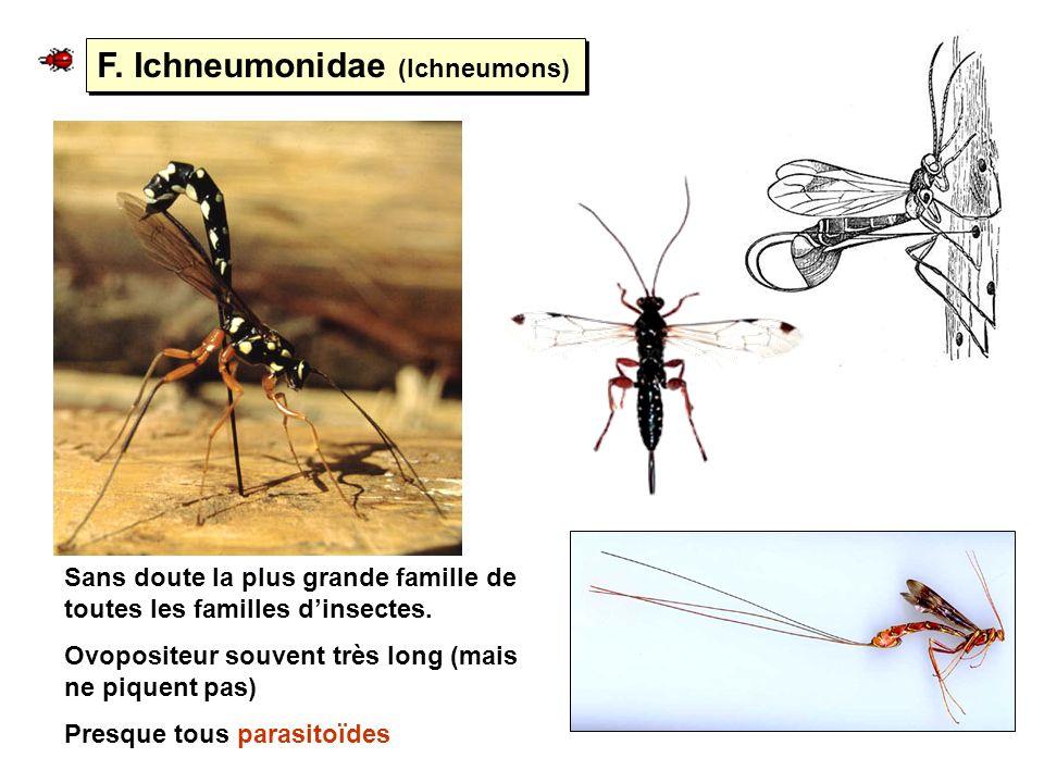 F. Ichneumonidae (Ichneumons) Sans doute la plus grande famille de toutes les familles dinsectes. Ovopositeur souvent très long (mais ne piquent pas)