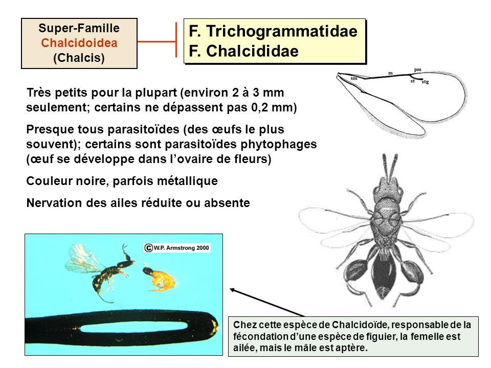 F. Trichogrammatidae F. Chalcididae Super-Famille Chalcidoidea (Chalcis) Très petits pour la plupart (environ 2 à 3 mm seulement; certains ne dépassen