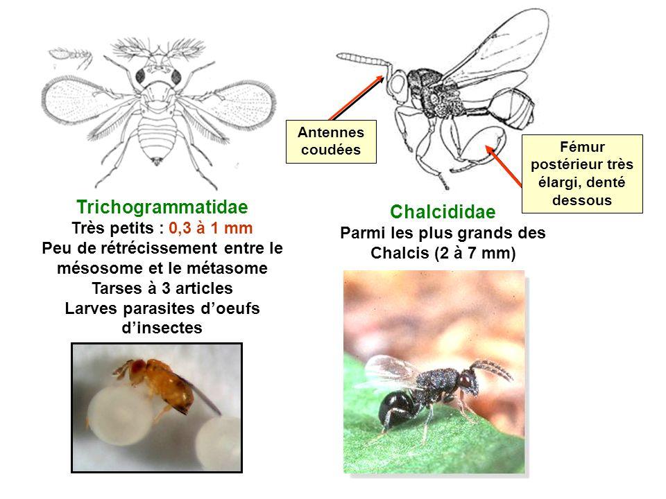 Chalcididae Parmi les plus grands des Chalcis (2 à 7 mm) Trichogrammatidae Très petits : 0,3 à 1 mm Peu de rétrécissement entre le mésosome et le méta