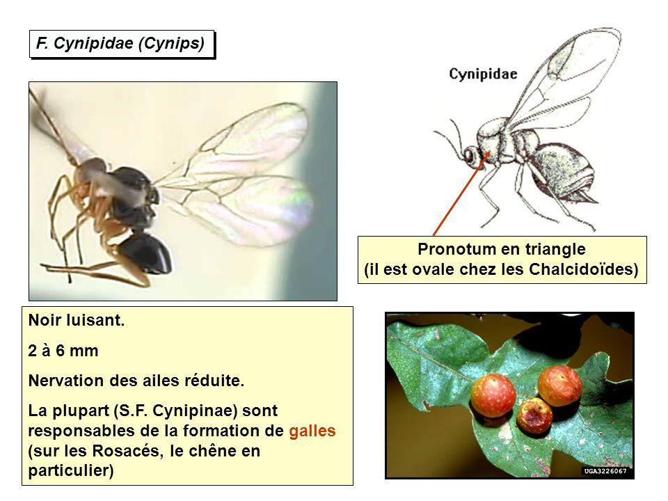 F. Cynipidae (Cynips) Noir luisant. 2 à 6 mm Nervation des ailes réduite. La plupart (S.F. Cynipinae) sont responsables de la formation de galles (sur